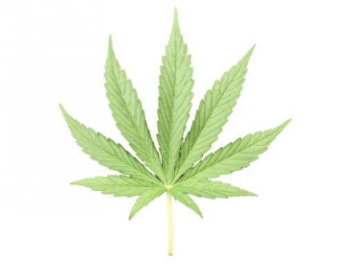 Aprueba la Comisión de Justicia del Senado dictamen para la regulación de marihuana